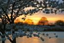樱花与日落