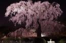 东京的樱花树