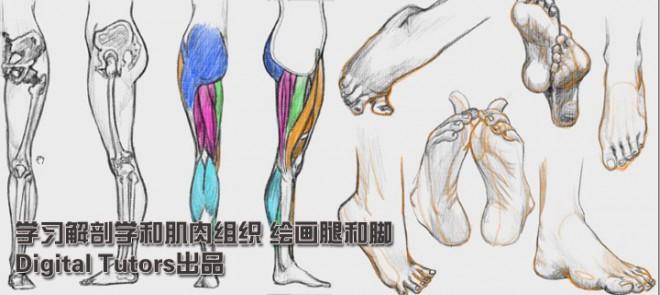 学习解剖学和肌肉组织 绘画腿和脚