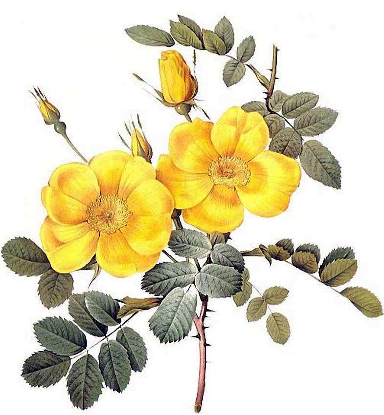 【作品】精密花卉水彩画