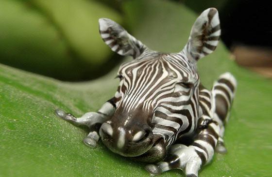 photoshop制作奇趣动物作品8:斑马,你在哪个医院做的软骨手术啊!