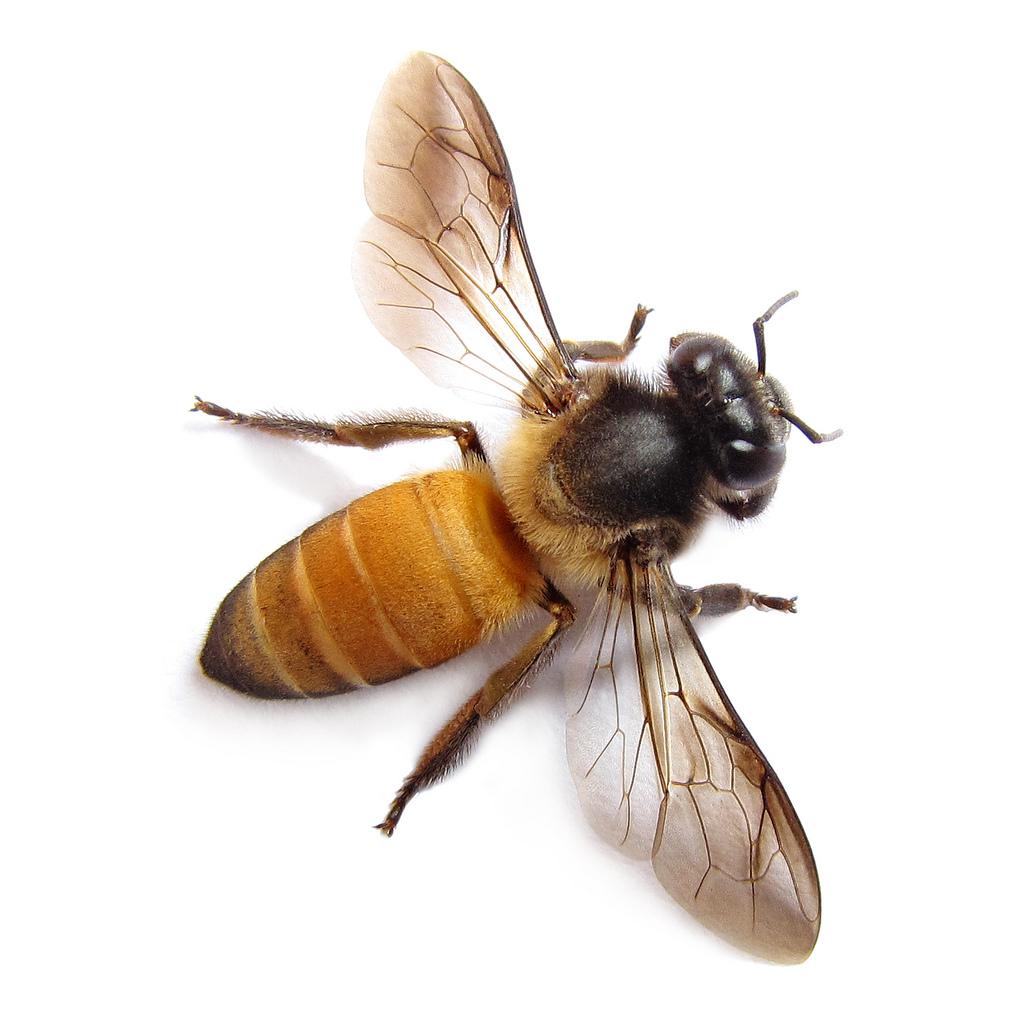 选择组成蜜蜂身体部分的